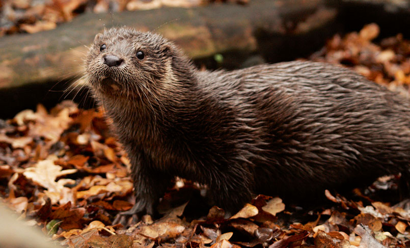 Conserve and Restore Habitats for Otters, Romania