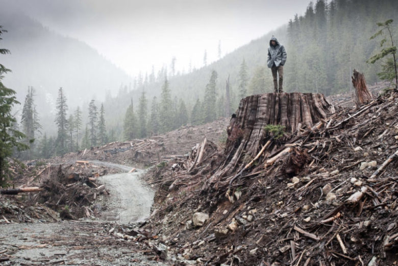 A giant red cedar tree cut down recently in the Nahmint Valley