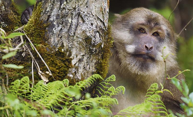 A male Tibetan macaque (Macaca thibetana), in Tangjiahe Nature Reserve, Sichuan Province in China