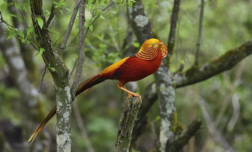 A golden pheasant (Chrysolophus pictus)